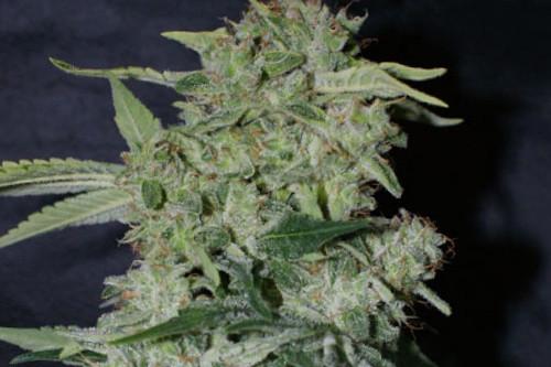 Auto Super Hash fem marijuana seeds by Pyramid Seeds