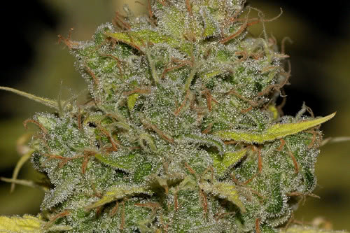 Badazz OG Cheese fem, cheap marijuana seeds by Seedsman