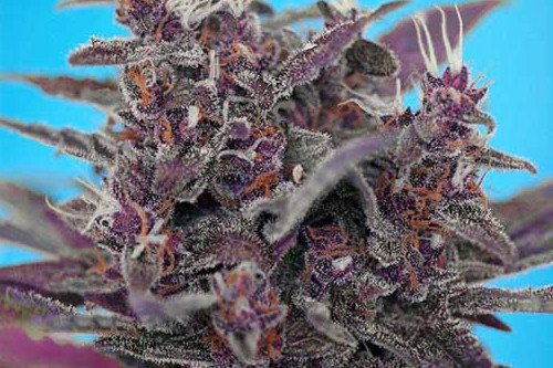 Black Cream Auto purple cannabis strain by Sweet Seeds
