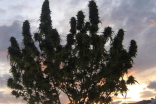 ciskei african sativa strain landrace tropical seeds