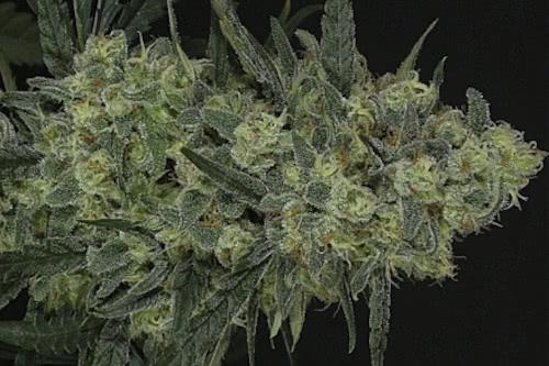 Criminal fem marijuana seeds for sale cheap from Ripper Seeds