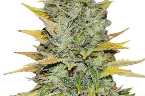 Bergman's Gold Leaf ILGM grow marijuana strain