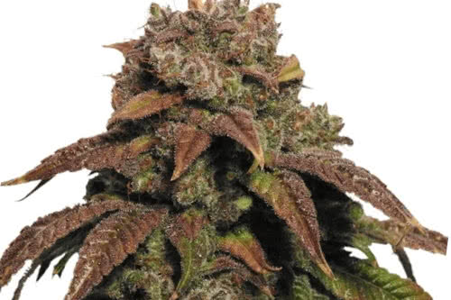 green crack by ilgm is hardy, easy to grow outdoors