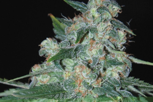 Ketama WOS cannabis regular seeds