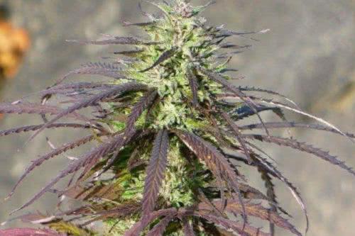 lebanese indica landrace cannabis hash strain