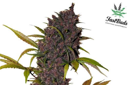 A purple bud LSD-25 Auto cannabis plant from Fast Buds seeds
