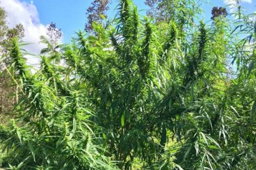 Malana Cream RSC marijuana seeds, regular pack