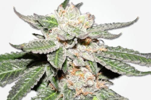Master Kush MSNL regular cannabis seeds cheap