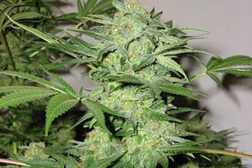 Northern Light Special by KC Brains, reg marijuana seeds for sale super cheap