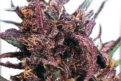 Closeup of Purple #1 buds weed strain by Dutch Passion