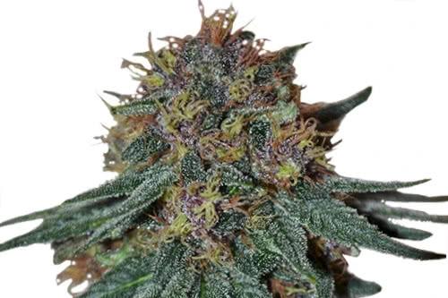 Purple Haze strain by ILGM marijuana seeds