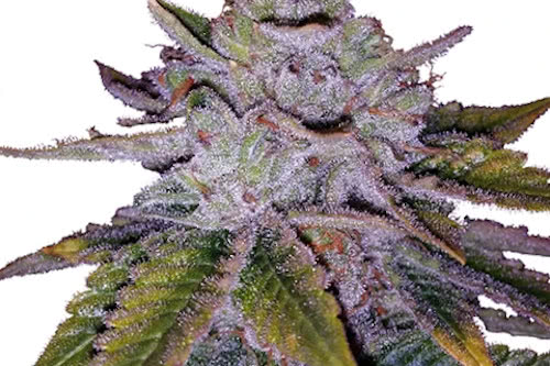 Purple Kush ILGM seeds cannabis plant growing