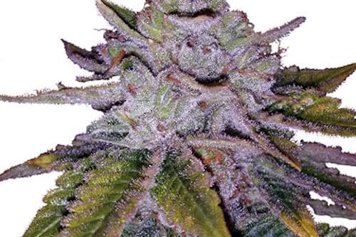 Purple Kush ILGM seeds cannabis plant growing