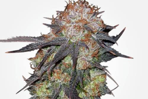 Purple Pineberry marijuana buds by MSNL