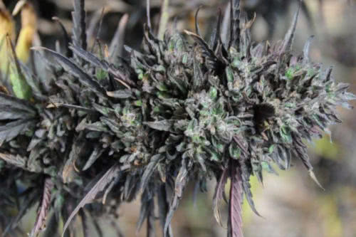 Purple Trainwreck marijuana buds by Humboldt Seed Organization
