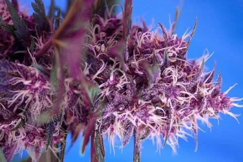 Red Poison Auto marijuana plant by Sweet Seeds