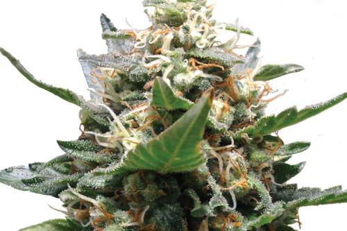 Royal Medic, a cheap feminized CBD strain by Royal Queen Seeds