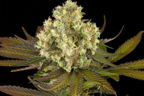 Sour Blueberry reg marijuana seeds, HSO's cheapest