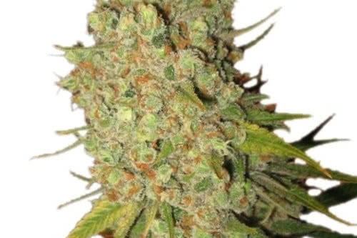 Special Kush #1 fem, the cheapest seeds from Royal Queen Seeds