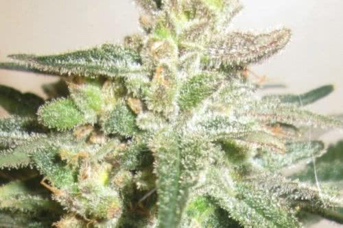 syrian landrace cannabis rsc seeds
