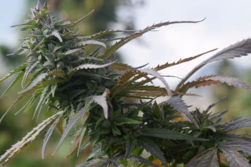 Tirah Hindu Kush landrace weed strain