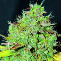 White Widow auto fem weed seeds
