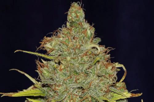 C99 x Blueberry Fast flowering marijuana strain by Seedsman seeds