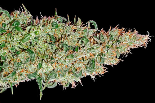 Green-O-Matic Auto fast autoflower strain by Greenhouse Seeds