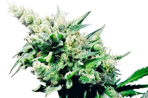 Hash Plant strain super quick grow by Sensi Seeds