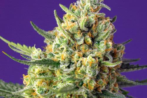 Crystal Candy XL Auto marijuana strain by Sweet Seeds