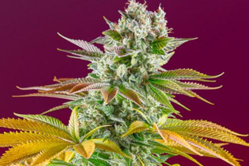 Gorilla Girl F1 fast flowering strain by Sweet Seeds