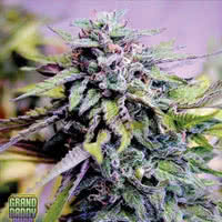 Grand Daddy Purple feminized weed seeds