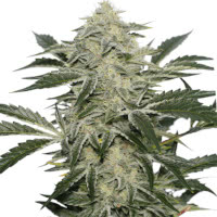 Strain of the Week 1 July 2020 - Mold Resistant Strains