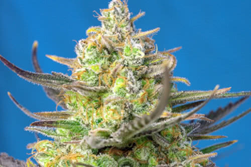 Sweet Cheese XL fast autoflowering strain to grow by Sweet Seeds