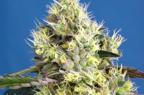 Sweet Gelato Autoflowering strain fast grow by Sweet seeds