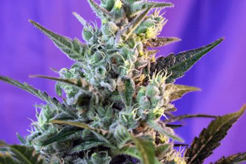 Sweet Skunk Auto weed strain by Sweet Seeds