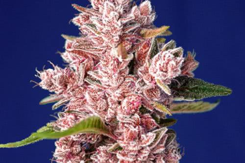 Tropicanna strain by Sweet cannabis seeds