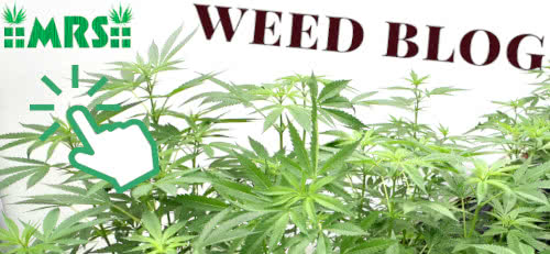 learn more grow tips on the moldresistantstrains.com weed blog