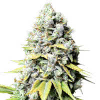 Strain of the Week 7 August 2020 - Mold Resistant Strains