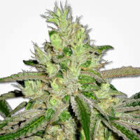 Strain of the Month September 2021 - Mold Resistant Strains