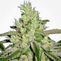 Afghan regular cannabis seeds