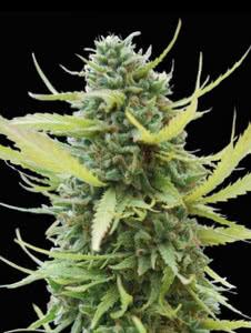 colombian gold landrace resistant cannabis strain