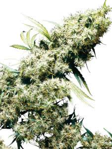 jamaican pearl marijuana strain mold resistant