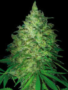 south african kwazulu resilient weed strain