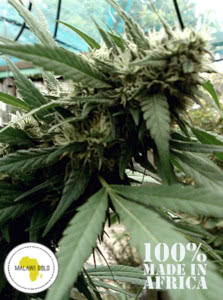 malawi gold cannabis strain outdoor mold resistant