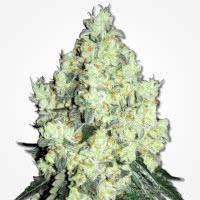 OG Kush regular cannabis seeds