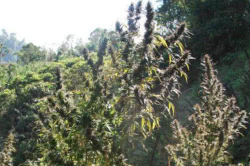 Colombia Mangobiche weed plant new strain grow of regular seeds by Cannabiogen