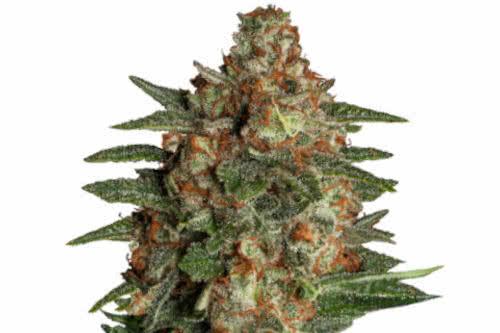 Glueberry Auto Fem new cannabis strain