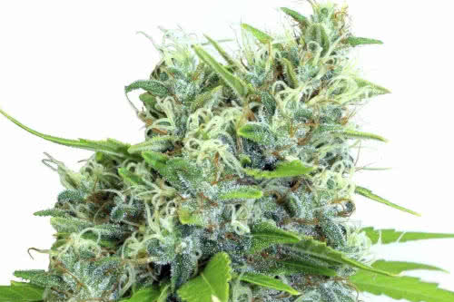 Kali Bubba new weed strain reg seeds by Serious