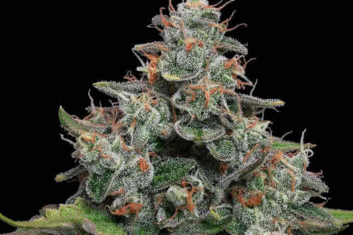 Lemon Tini new weed strain reg seeds by Karma Genetics